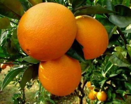 Narancsfa 'Washington Navel' - (Citrus sinensis' Washington Navel'): Citrusfélék | Ár: 4500.00 Ft