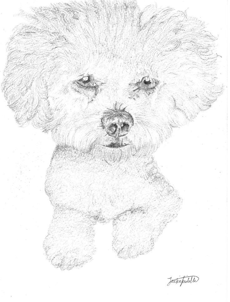 Jazz the Bichon Frise