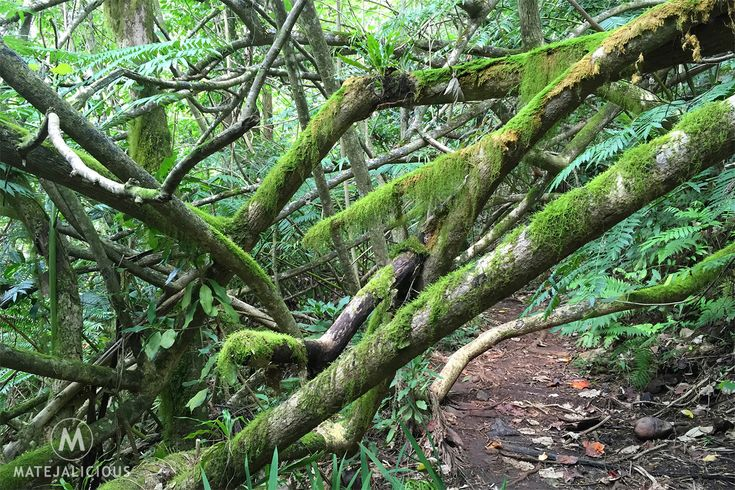 Rarotonga Forest - Matejalicious Travel and Adventure