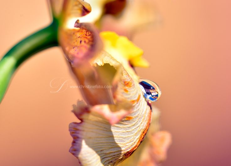 Macro photograph of a water drop sitting on a orchid
