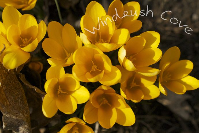 Golden Bunch - Fine Art Nature Print - Photography - 8x10 by Windrush Cove, $30.00 USD