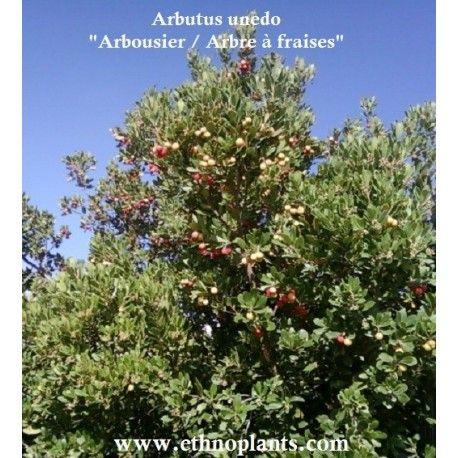 ARBOUSIER, ARBRE A FRAISE, graines d'Arbutus unedo à semer en pot. Plante de climat doux, à cultiver en pot ou directement au jardin.