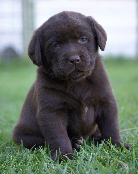 OMG - Labrador from Zumi Labs