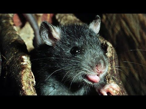 Cutest Black RAT Ever – A 15 Days Age Rat of Mine is playing Like Play Rat