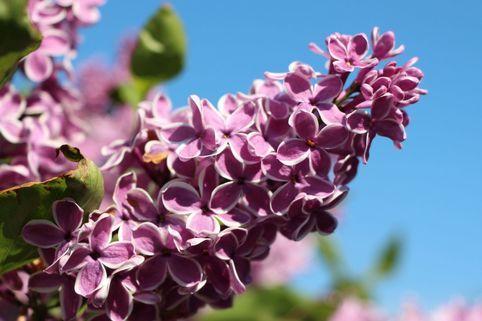 Edelflieder 'Sensation' - Syringa vulgaris 'Sensation'