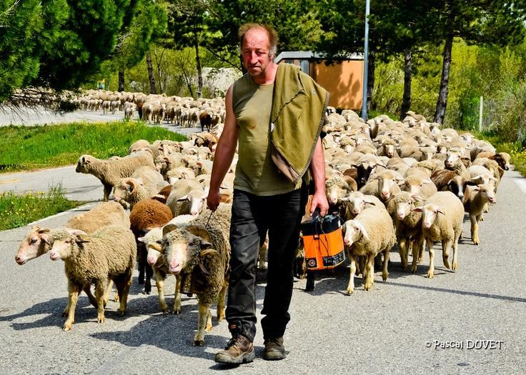 Le printemps étant arrivé, transhumance sur les petites routes des Alpes de Haute Provence - Berger à Peyruis - Alpes de Haute Provence 04