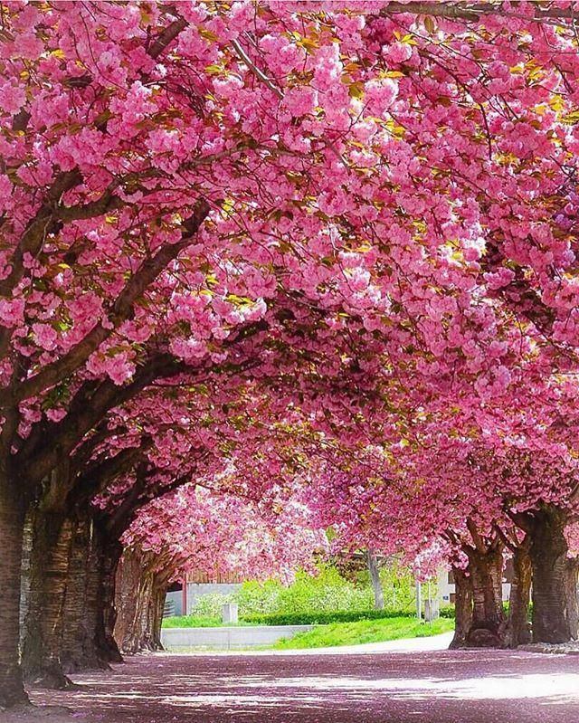 Beautiful Photo By Dearest Sennarelax Follow His Awesome Gallery Switzerland Vacations Switzerland Nature Photography Flowering Trees Beautiful Nature