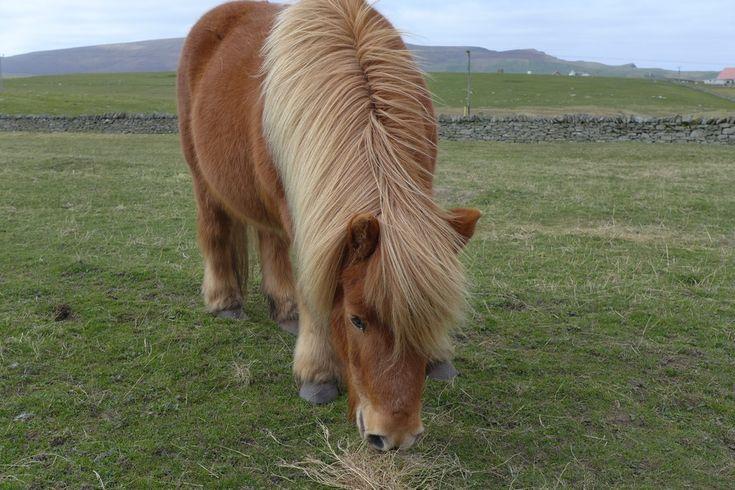 Iles Shetland et Orcades - Ecosse