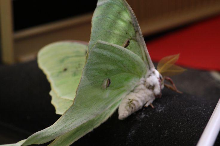 Luna Moth, and Mondnacht, by Joseph von Eichendorff ...