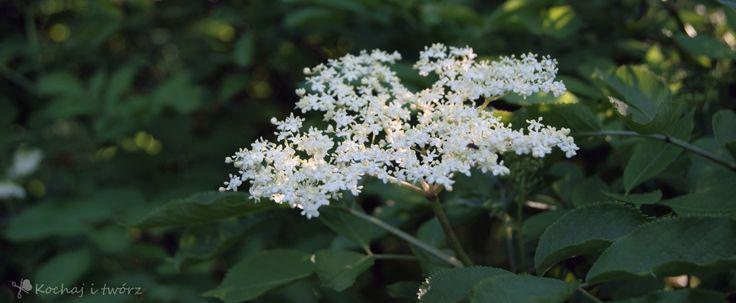 Jak zrobić syrop z kwiatów dzikiego bzu?