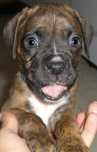 This face made me smile (Boxer pup)