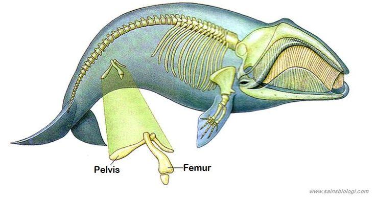 pelvis dan femur paus, sebagai Petunjuk Adanya Evolusi