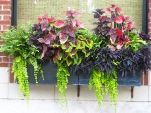a dramatic plant color scheme window box for shady locations...left to right, boston fern, 1 solid purple and 2 variegated coleus (purple+green), purple sweet potato vine and trailing creeping jenny.