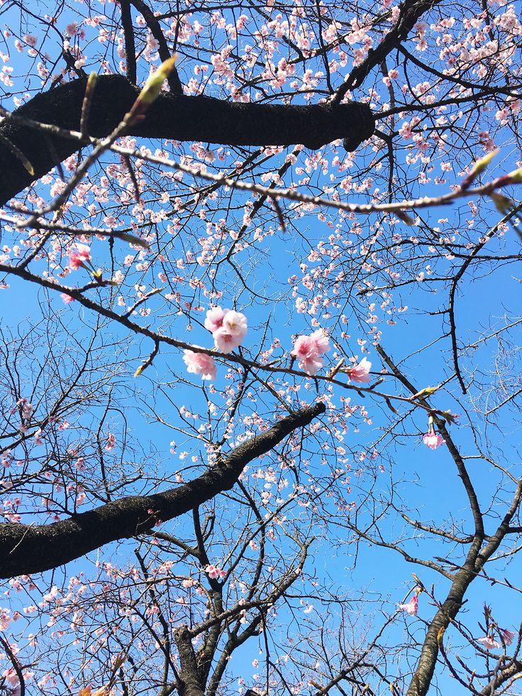 【編集者M】編集長が「靖国神社に桜が咲いてた✨✨」と写真を撮ってきてくださいました標本木の桜はまだ咲いていなかったのですが、他にある桜の木は1本見事に咲いていましたきれいですね、見ていてうっとりします