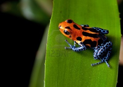 red striped poison dart frog blue legs of amazon rain forest in Peru, poisonous animals of the tropical rainforest, pet in terrarium Stock Photo - 11289465