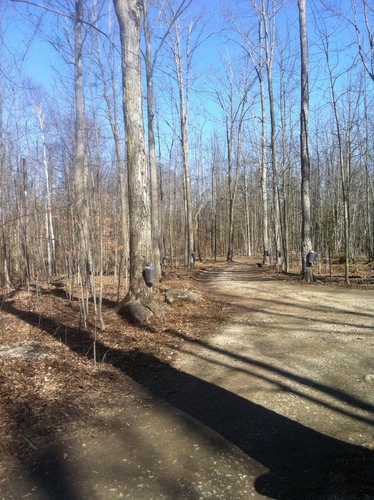 More from the Maple Towne - Beautiful Maple Tree's producing sap to be made into delicious Mountsberg Maple Syrup
