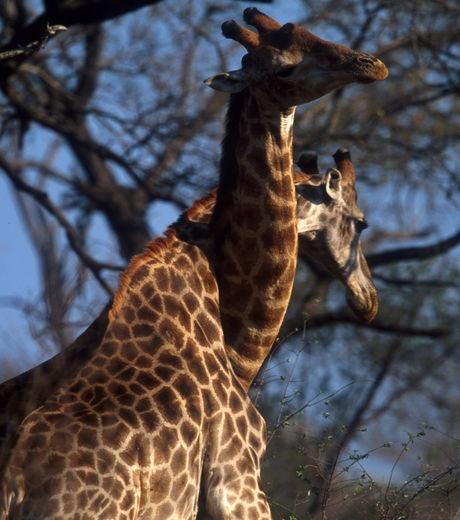 Deux girafes mâles (crédit photo : IFAW/J. Hrusa)