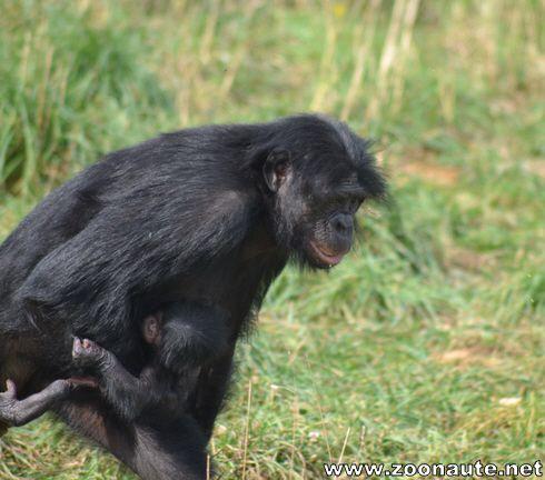 Un bébé bonobo est né à la Vallée des Singes