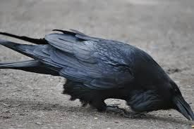 Image result for american crow on steep rock