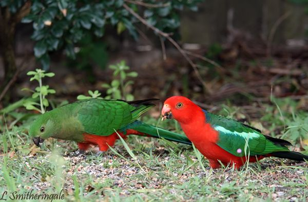 A nice pair of King Parrot's