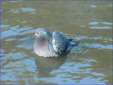Pigeons, People and Diseases - PIGEON and DOVE RESCUE