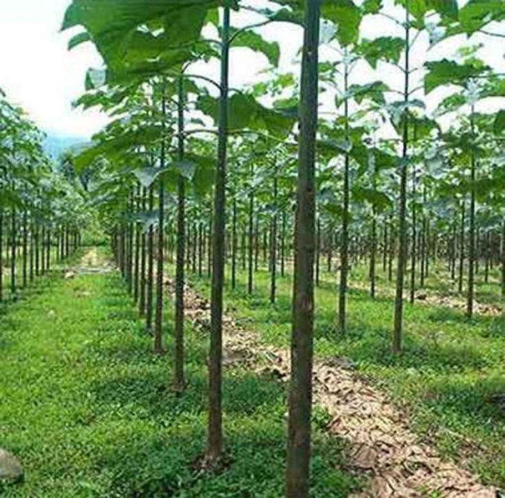 PAULOWNIA ELONGATA (500, 1000, 5000 SEEDS) in Garden & Patio, Plants, Seeds & Bulbs, Plants & Seedlings | eBay