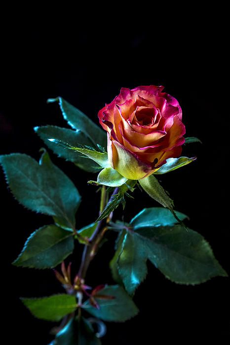 This is a staged photograph of a rose, in that it was shot indoors using flash lights.  I wanted to shoot a very bold colour shot of a rose against a very black background.