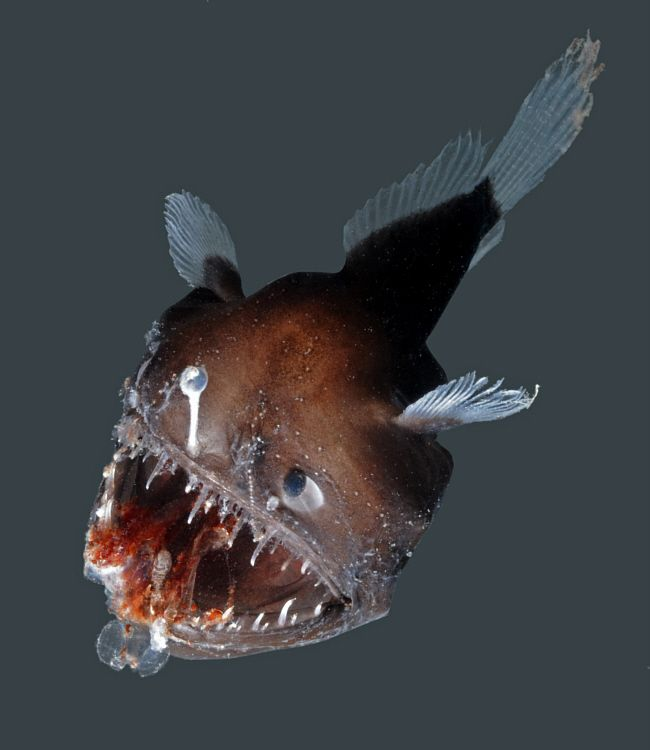 84 Best Images About Deep Sea Creature On Pinterest