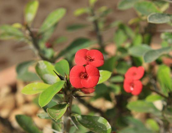Euphorbia milii ou couronne d'épines