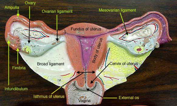 96 best Anatomy 2 Lab Practical images on Pinterest   Anatomy, Lab ...