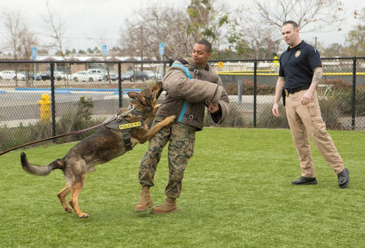 The Marine Corps first introduced military working dogs to their active ranks in World War II. During the war, the dogs were donated by American citizens for use in the Pacific Theater to take back islands from axis forces. The K-9 unit with the Marine Corps Air Station Miramar Provost Marshal Office, carries on the legacy and is dedicated to the security of MCAS Miramar, California.