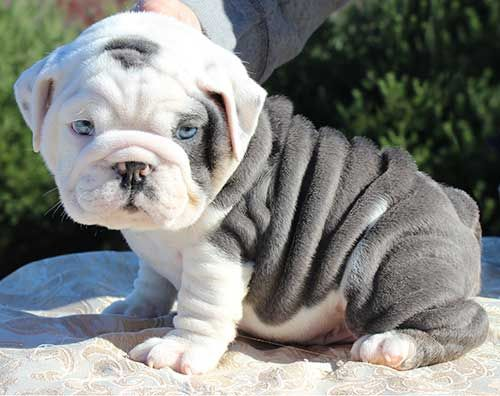 rare blue english bulldog