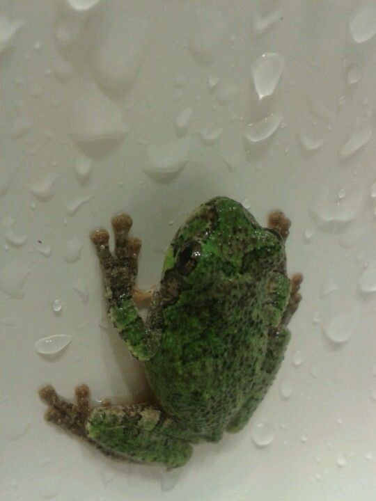 tree frog, tweed Ontario