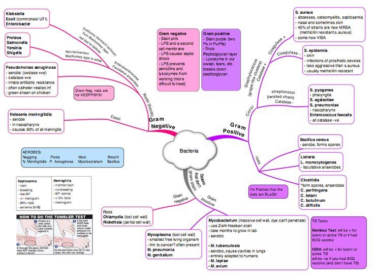 Bacteria Mind Map 1) Staph.aureus (G+) kløverbladmetoden