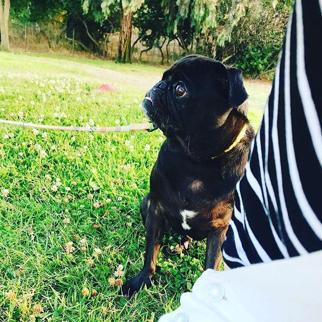 Such a sweetie😻😻😻 #pug #blackpug #californiaboy #losangeles #ilovemypug #pugstagram #pugslife #dogstagram #黒パグ #パグ #愛犬 #息子 #小林くん #5歳です #公園か #ただただかわいい #なつのすけ #ロサンゼルス