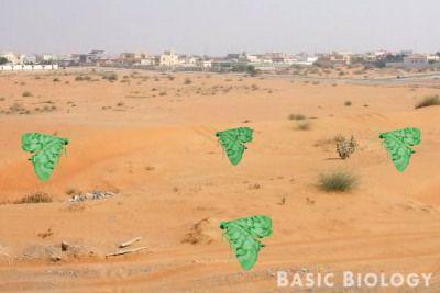 Green moths on orange sand - easily seen and more likely to be eaten http://www.basicbiology.net/biology-101/evolution/