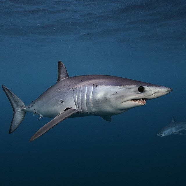 Photo by @BrianSkerry A pair of shortfin mako sharks swim in the coastal waters of New Zealand. Makos are one of the fastest fish in the sea capable of bursts up to 60mph and of all shark species they have one of the largest brains relative to body size. The numbers of makos have declined worldwide due to over fishing and the demand for shark fins. They are currently listed as vulnerable.  Coverage from an upcoming @natgeo story about shortfin mako sharks.  To see more shark and ocean…