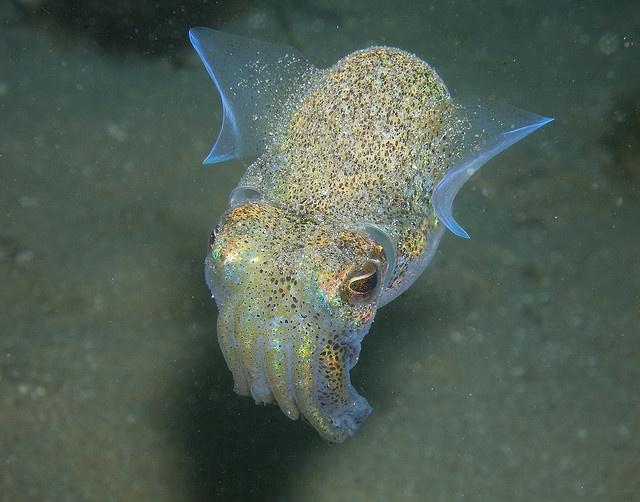 Dumpling Squid.