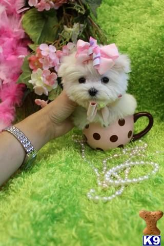 maltese puppy; cute puppies; dogs; animals; pets; babies; baby; photography; pink ribbon; bow; flowers