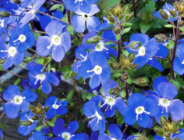 Drought Tolerant: Veronica U0027Big Blueu0027 Is One Of Many Low Growing
