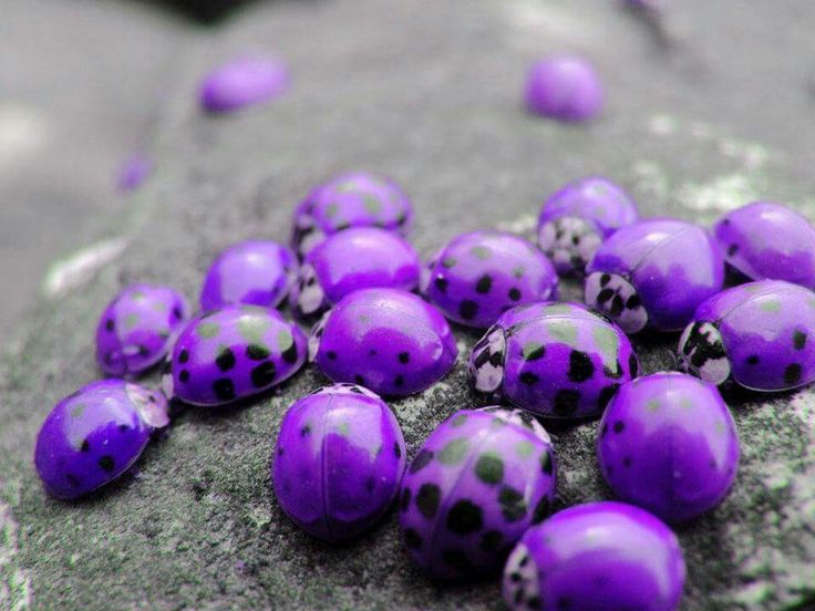 Purple Ladybugs found only in Hawaii...Nature never fails to amaze.