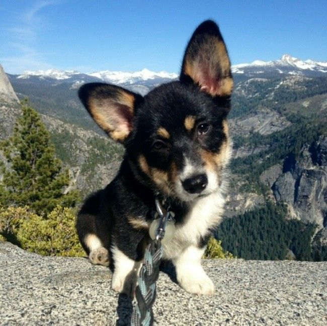 Even with their tiny, little legs, corgis can climb mountains with the best of 'em.