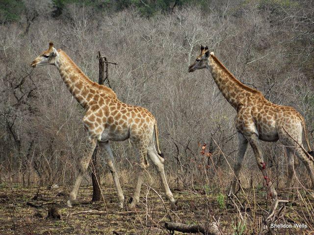 Journey of Giraffe on our DUrban Day Safari Tour
