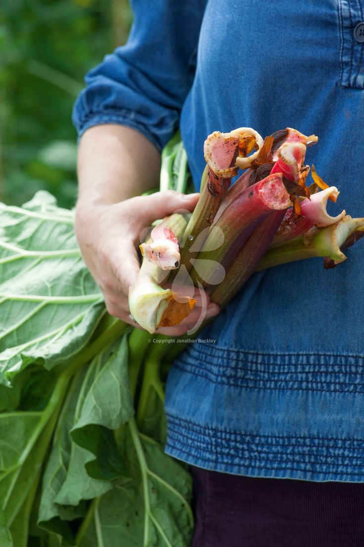 Rhubarb is an invaluable crop, providing fantastic puddings at the leanest times of year. If you grow the right succession of varieties, which is exactly what you get with this collection, you can pick it from the garden from March until August.