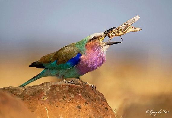 Lilac-Breasted Roller by Greg du Toit