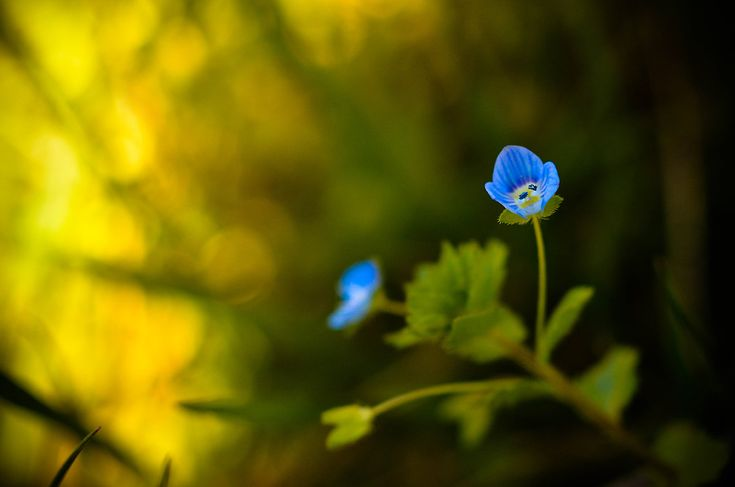 Blue Flower Photography, Blue and Yellow Flower Picture, Floral Nature Photograph, Botanical Vertical Wall Art, Fine Art Macro Photo Print by InLightImagery on Etsy
