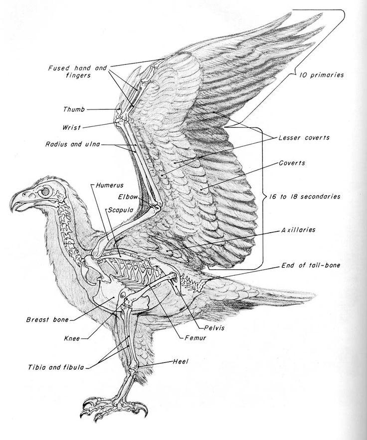 bird anatomy - Google Search