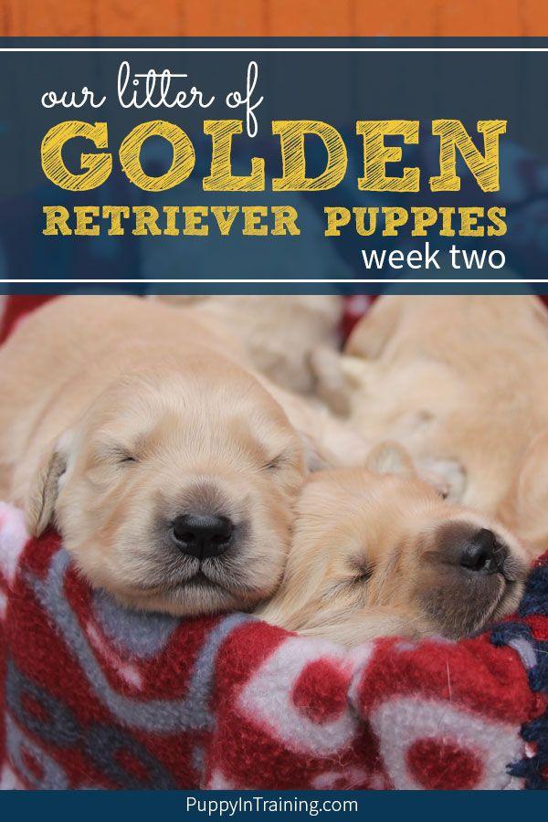 Our Litter Of Golden Retriever Pups Week 2 Golden Retriever Retriever Puppy Litter