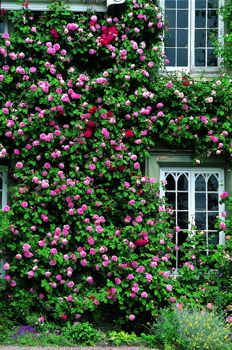 Constance Spry Rose : English Roses : Roses Uk