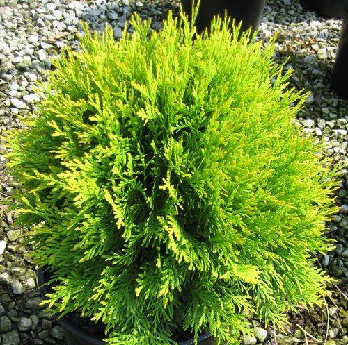 Golden globe arborvitae 4 pot thuja more shrub and for Arborvitae garden designs